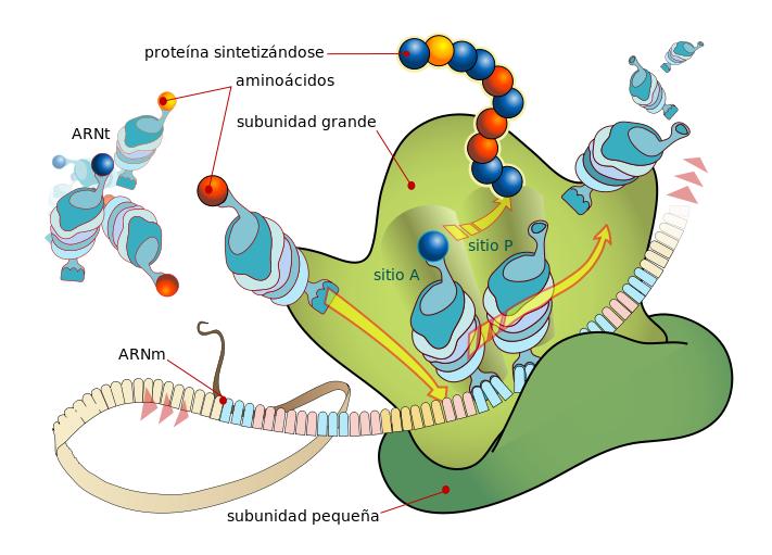 ribosomas traducción y código genético