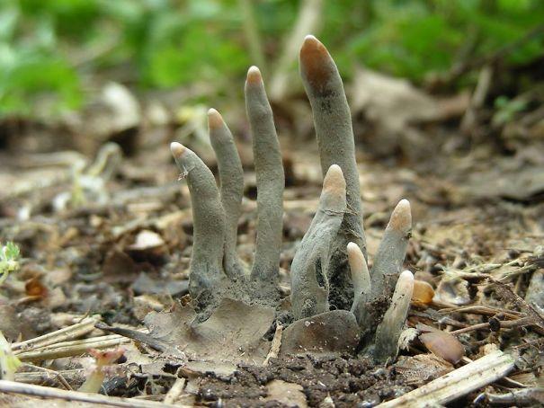 dedos de muerto - xylaria polymorpha