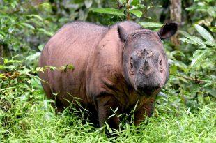 rinoceronte de sumatra
