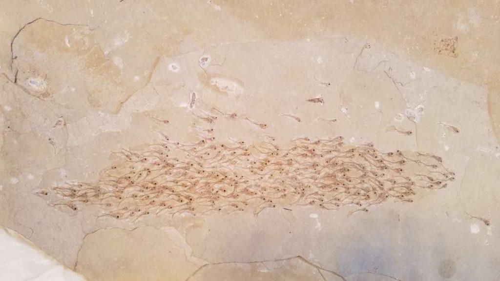 banco peces fósil