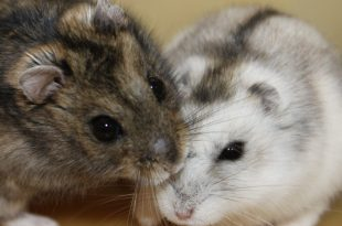 hamster siberiano ritmos día noche