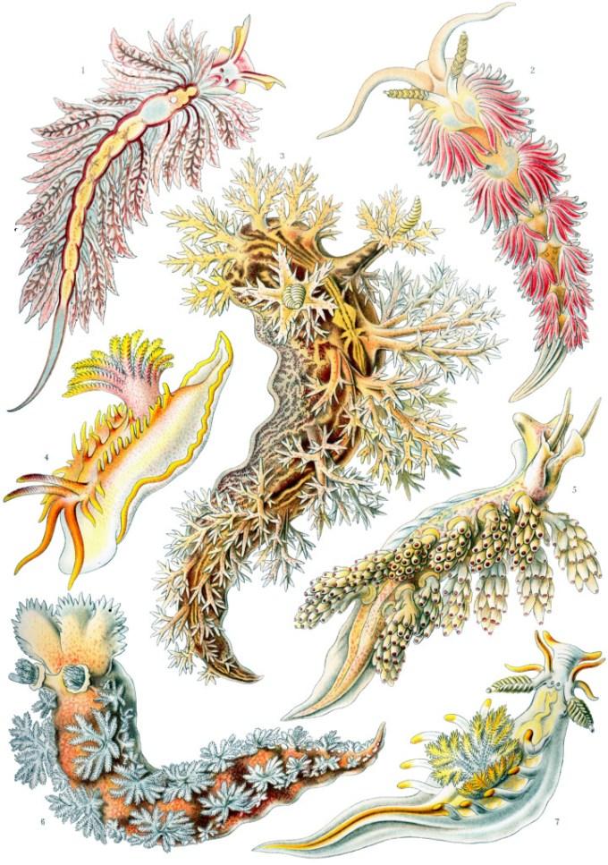 nudibranquios dibujados por Ernst haeckel