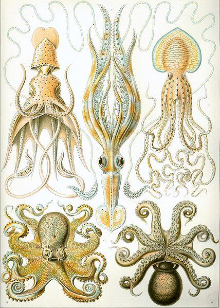cefalopodos ilustracion