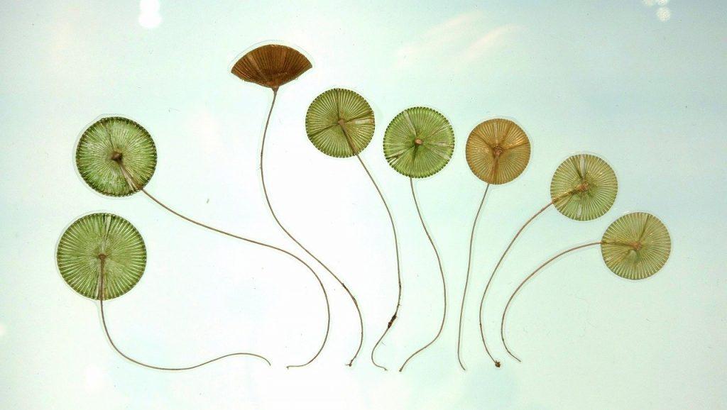 curso online algas - botánica