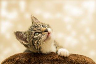 gatos transmiten coronavirus covid19