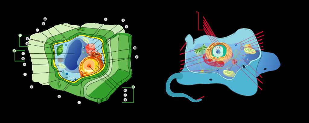 diferencia célula animal y vegetal