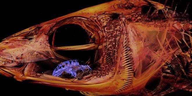 isopodo que se come la lengua de un pez