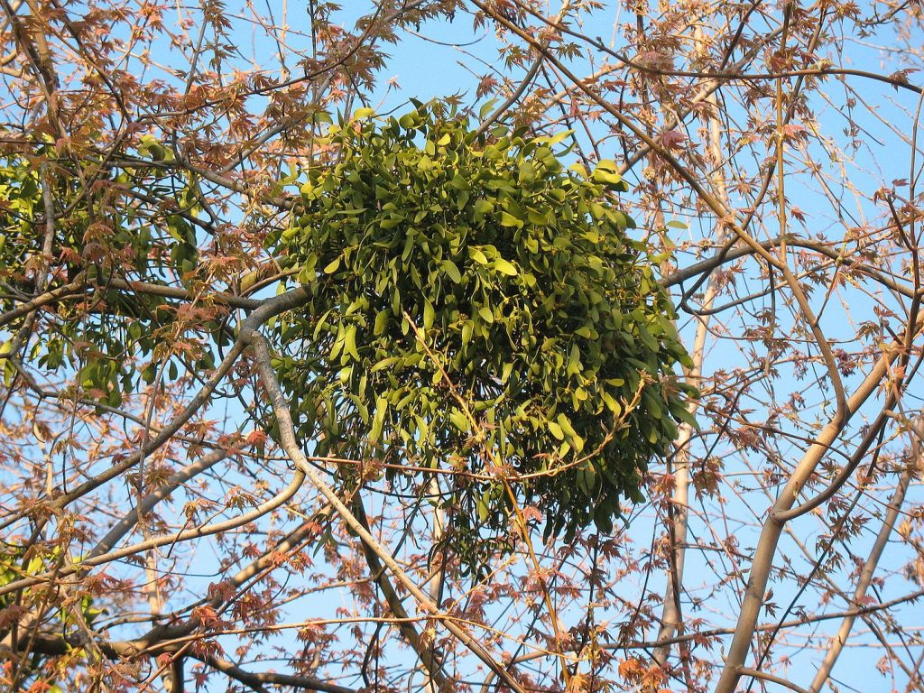 muérdago sobre árbol en primavera