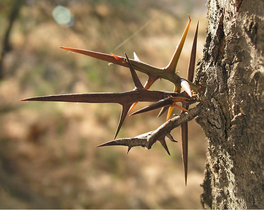 mecanismo de defensa de las plantas acacia negra
