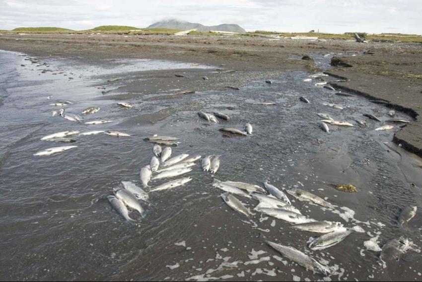 peces muertos por eutrofización