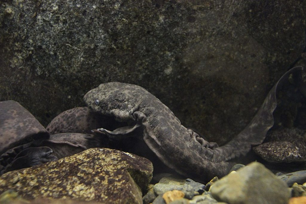 animales más longevos - anfibios