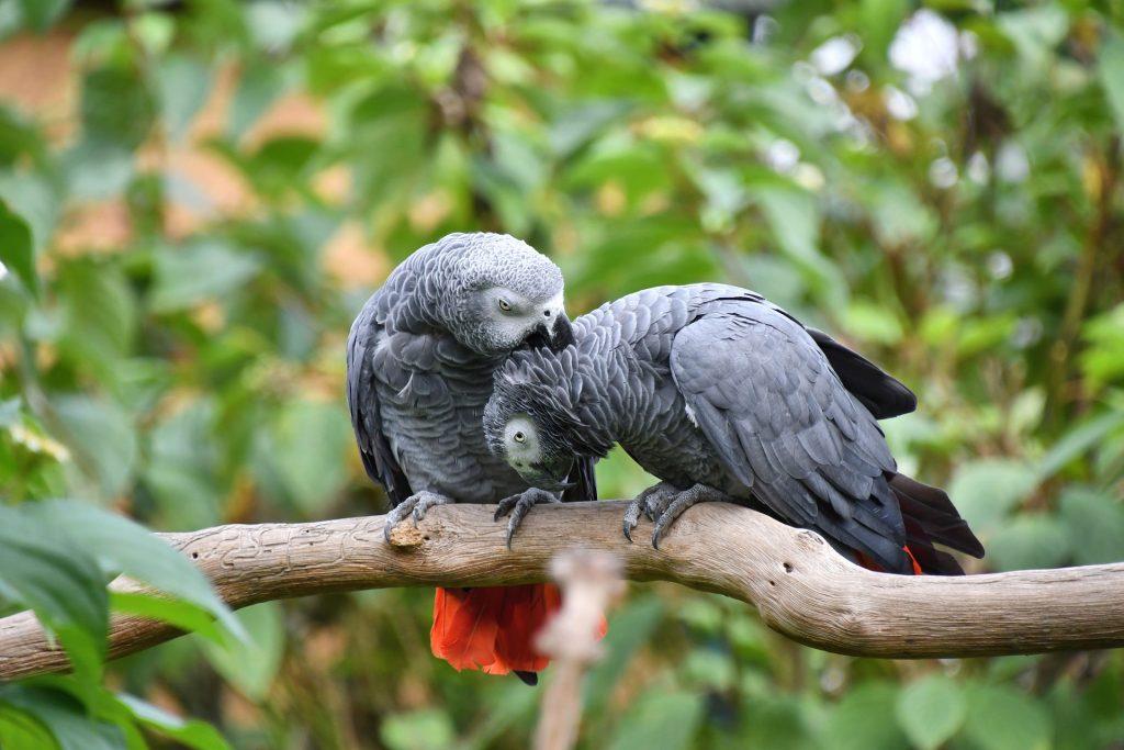loro gris el ave que vive más años