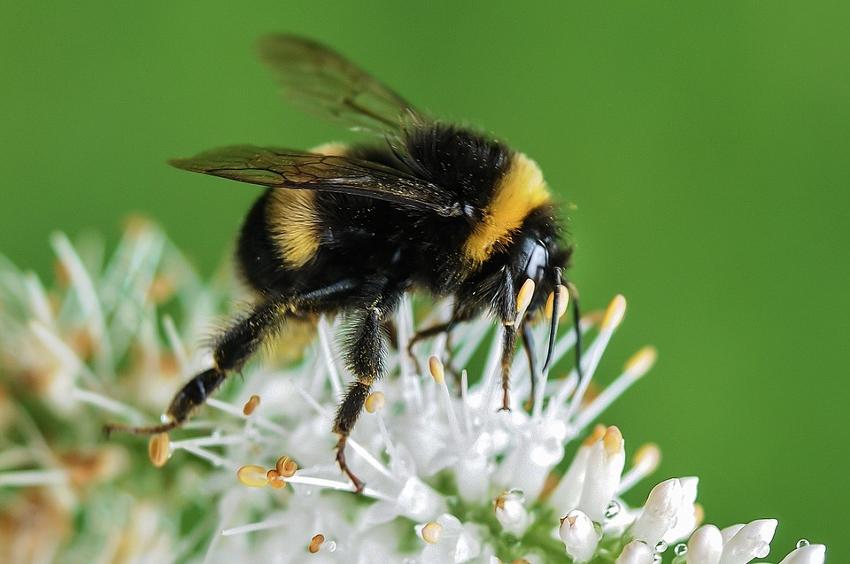 declive de abejorros como ejemplo de declive de los insectos.