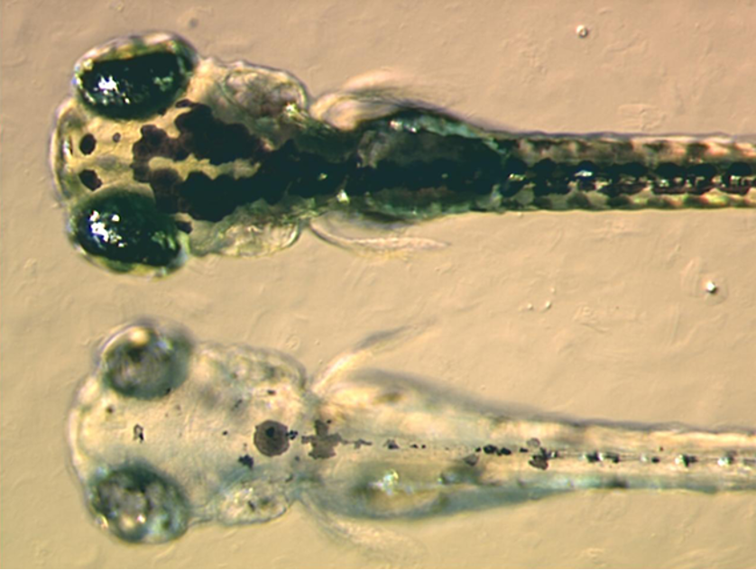 pez cebra desarrollo y embriones