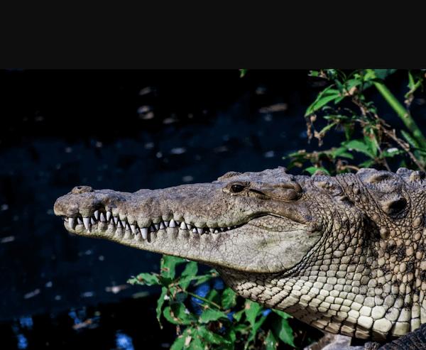 cocodrilos, pariente vivo más cercano a los dinosaurios