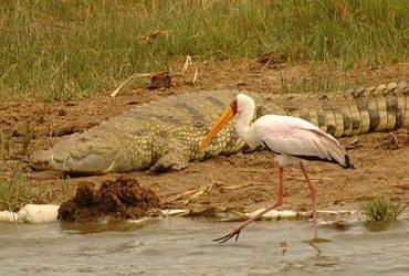 relación evolutiva aves y dinosaurios